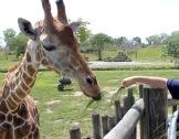 nourir les girafes !
