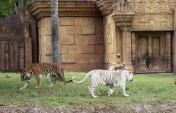 les tigres majestueux !
